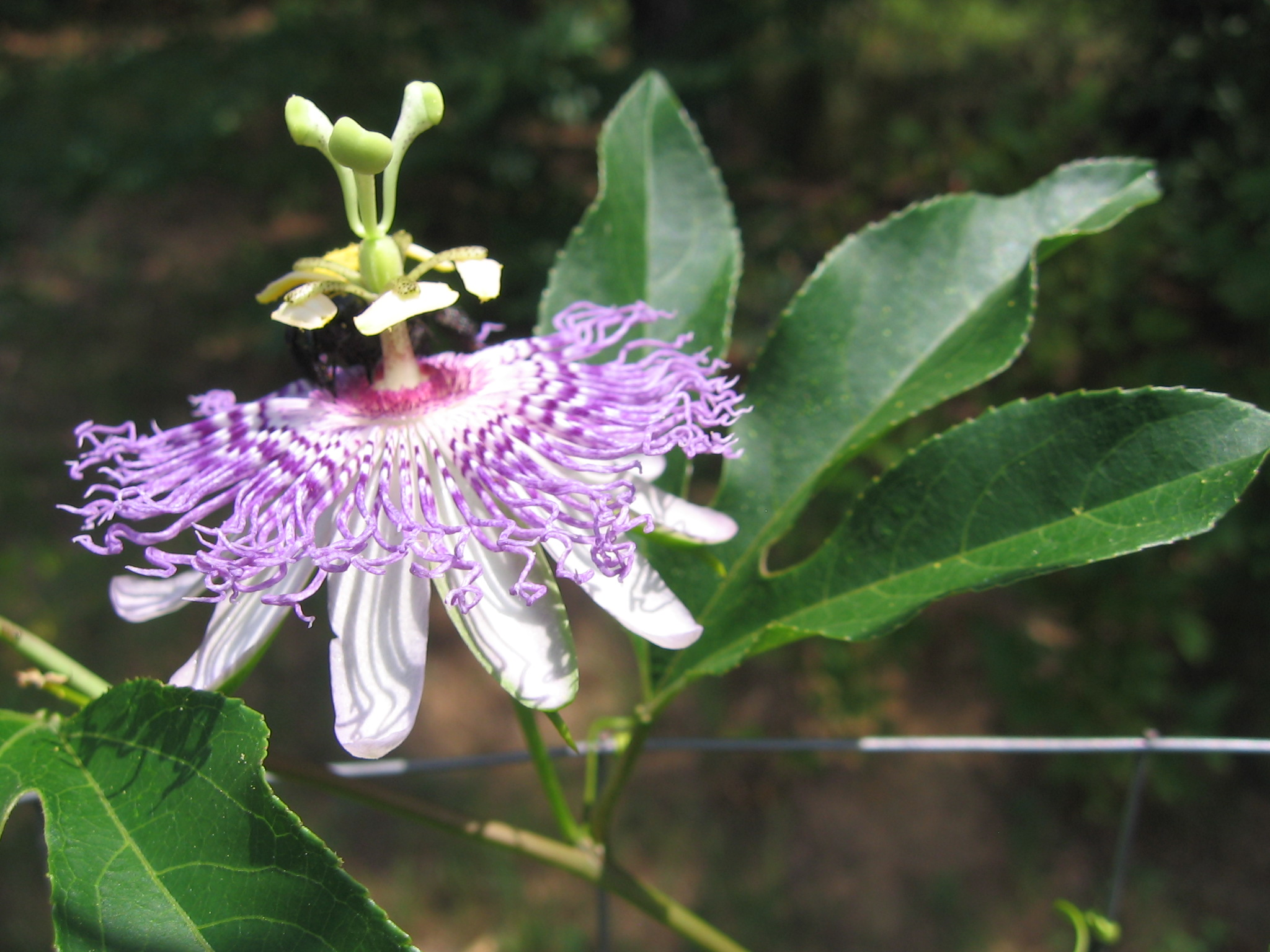 Purple Passionflower Holli Richey Psychotherapy Herbal Medicine