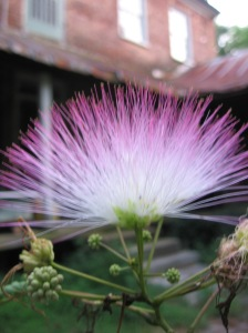 Mimosa (Albizia julibrissin) is a wonderful plant to tincture. In China the peeled, dried bark of mimosa, called