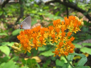 Asclepias tuberosa at Fort Yargo State Park in Winder, Georgia USA