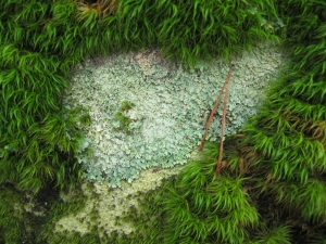 Lichen Heart in moss at Rock Town, GA