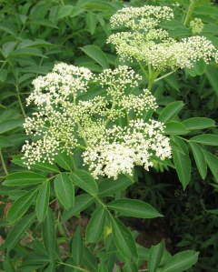Elder flower and elder berry are antiviral herbs, and very helpful for the flu.