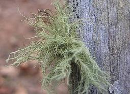 Usnea, or grandfather's beard, is a lichen that gets blown from trees during wind storms.