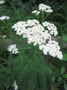Yarrow, a standard in flu formulas, has a long history in many cultures as a herbal ally for human health.
